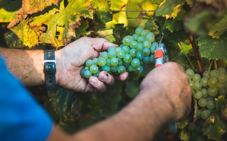 Champagne Adopts 'unprecedented Measures' for the 2020 Harvest